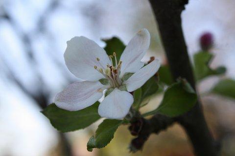 FOTKA - Květy jabloně I.