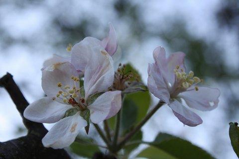 FOTKA - Květy jabloně II.