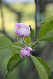 FOTKA - Květy jabloně IV.