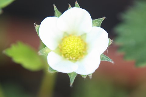 FOTKA - Květ jahodníku