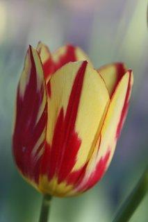 FOTKA - Tulipány XXXI.