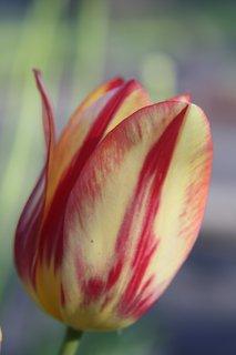 FOTKA - Tulipány XXXII.